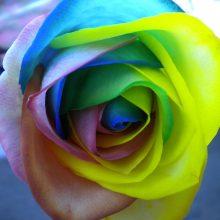 Seeds of Rare Holland Rainbow Rose