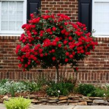 50 Seeds of Red Rose Tree