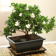 DIY Home Garden Potted Bonsai